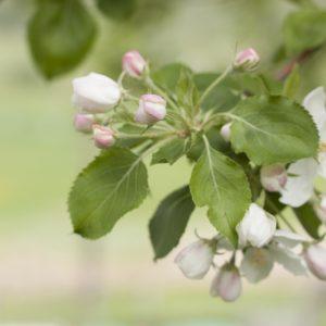 Cherry Blossoms - Ned Tobin